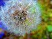 Dandelion Days of...