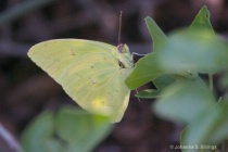 Butterflies of Arizona - Sulphur