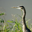 Heron on the Rive...