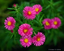 Bright Pink Asters
