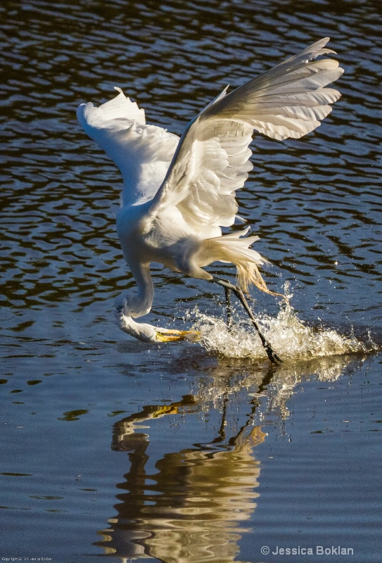 Great Egret Fishing - ID: 13401946 © Jessica Boklan