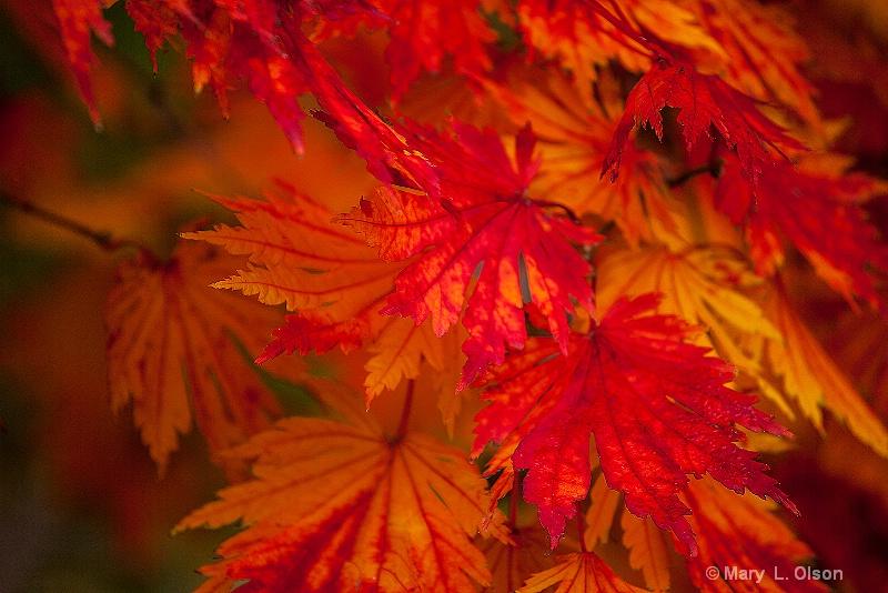 Japanese Maple Missouri Botancial Garden
