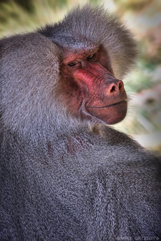 Hamadryas Baboon