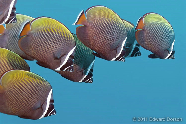 White Collar Butterflyfish School - ID: 13409400 © Edward Dorson