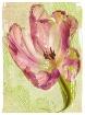 pink tulip w edge...