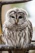 Barred owl portra...