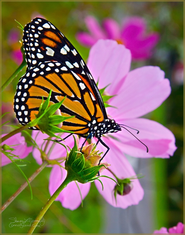 Monarch on Cosmos