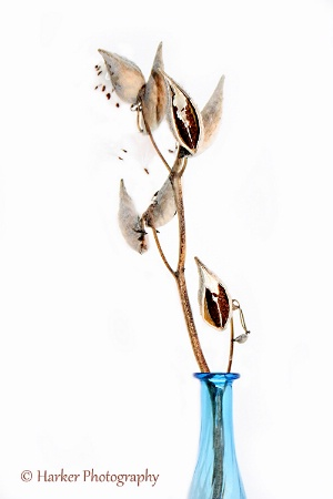 Portrait of Milkweed Pods