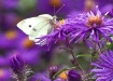 Cabbage White But...