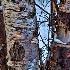 © KC Glastetter PhotoID # 13433442: birch trees