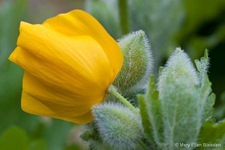 Celadine Poppy