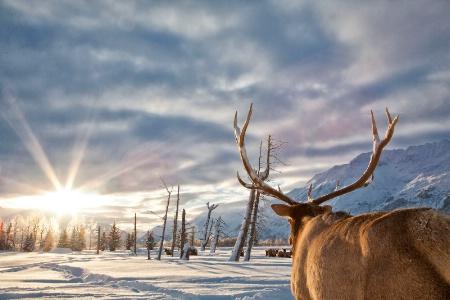 Elk / Wapiti (Cervus canadensis)