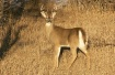 White -Tail  Buck