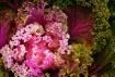 """ Pink Cabbag..."
