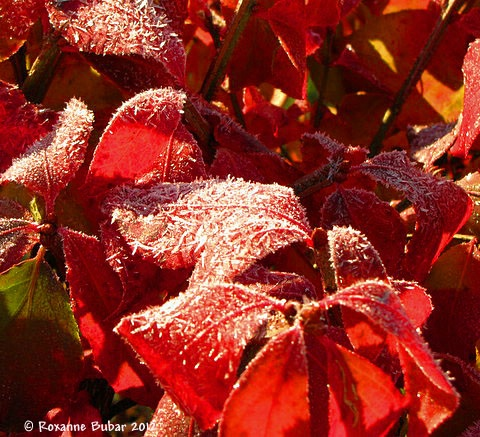 Frost On Our Burning Bush