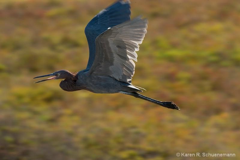Reddish in flight