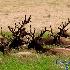 © Thomas C. Geyer PhotoID # 13476269: Sitting Bulls