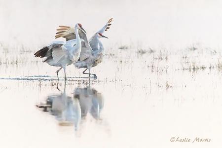 Dance of the Sandhill Cranes