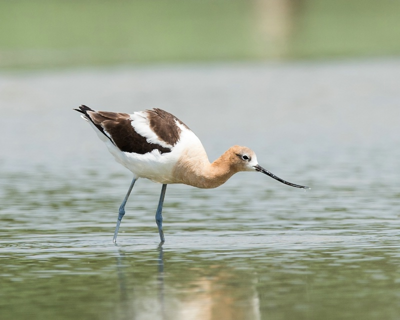 American Avocet - July 16th, 2012 - ID: 13483115 © John Shemilt