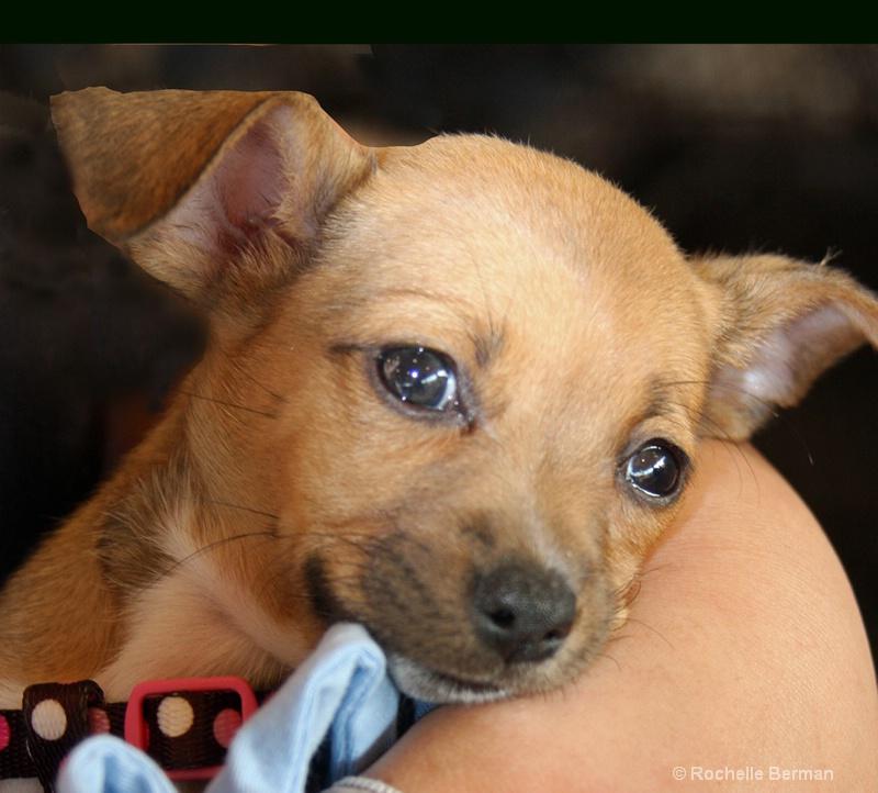 pup1 - ID: 13483346 © Rochelle Berman