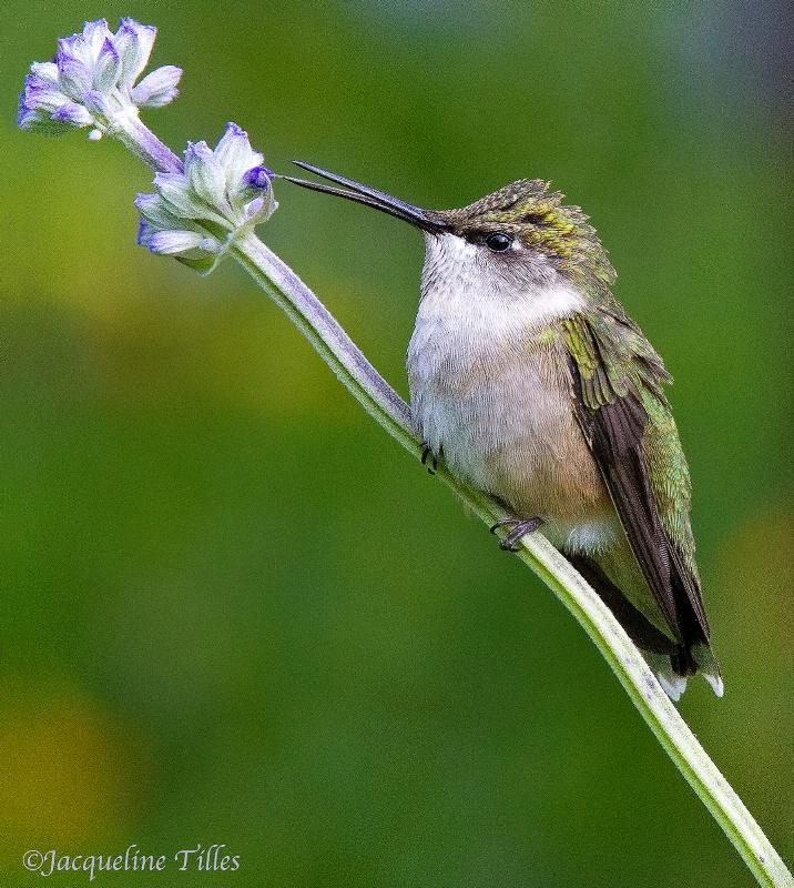 FLOWER WHISPERER - ID: 13483370 © Jacqueline A. Tilles