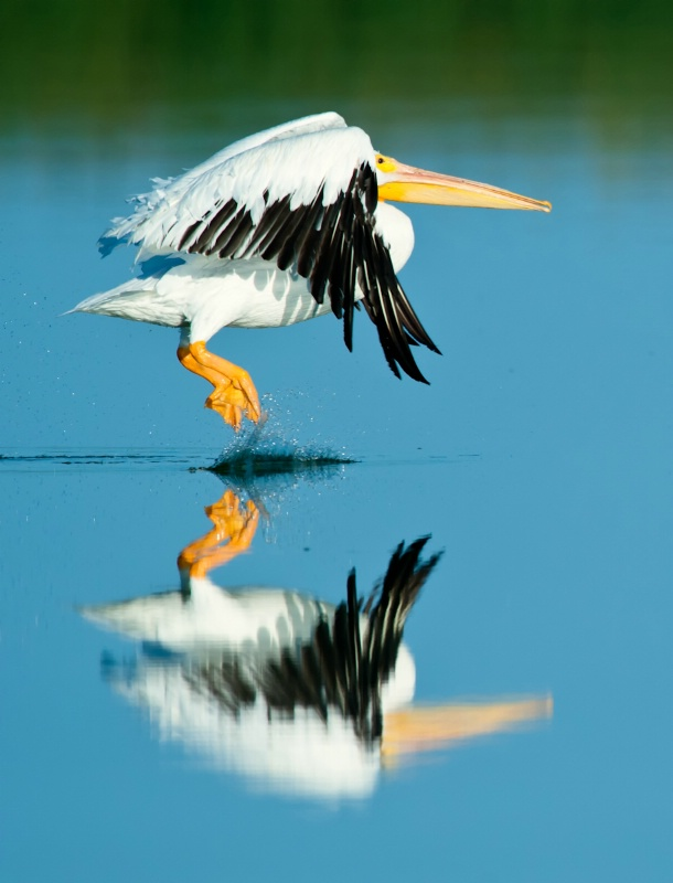 Great American Pelican