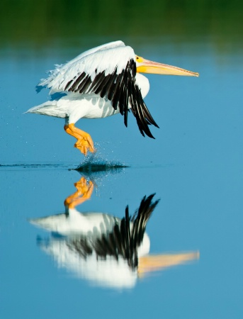 Great American Pelican