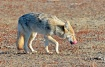 Coyote  in  Pain