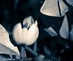 Magnolia Fiscata ...