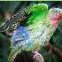 © Kelly Pape PhotoID # 13502177: Princess Parrot