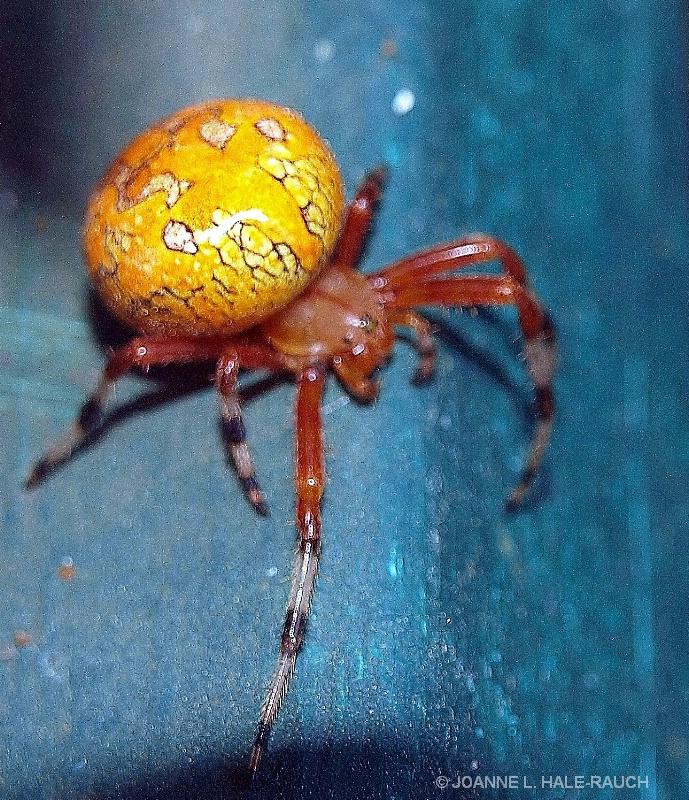 PUMPKIN SPIDER???? - ID: 13518858 © JOANNE HALE-RAUCH