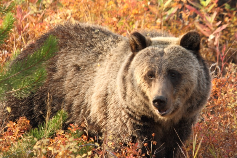 Grizzly Bear, Shoshone National Forest, 9.25.12 - ID: 13520279 © Michael S. Couch