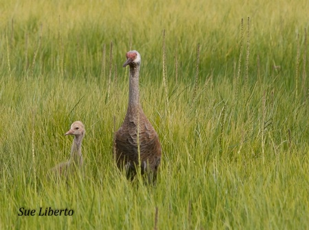 Sandhill Crane Chick and Parent
