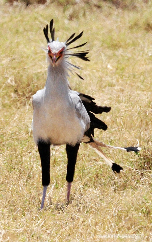 secretary bird  africa