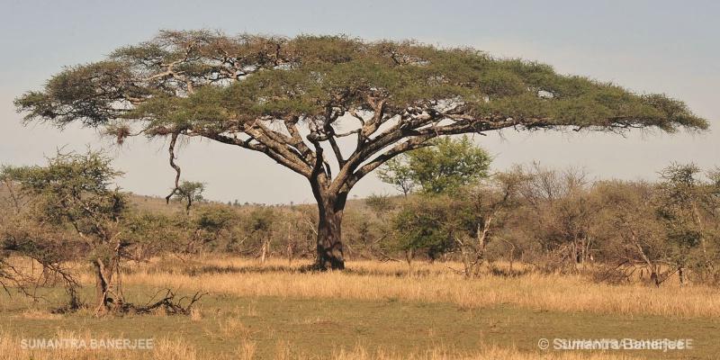 umbrella acacia tree  africa