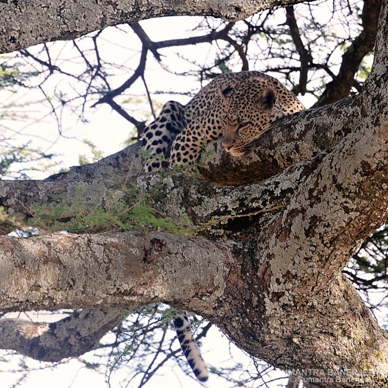 leopard on a tree  serengeti