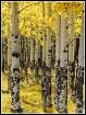 Aspen Trees in Fa...