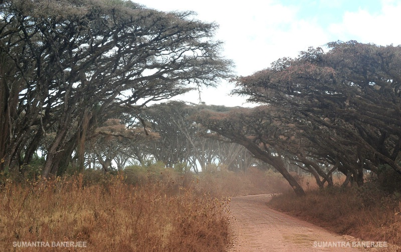 dusty safari track  ngorongoro  tanzani