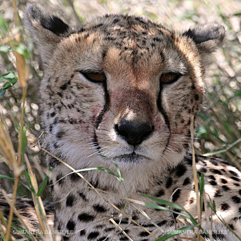 cheetah  portrait shot  serengeti