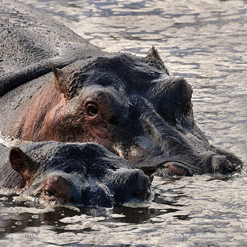 giant hippos serengeti