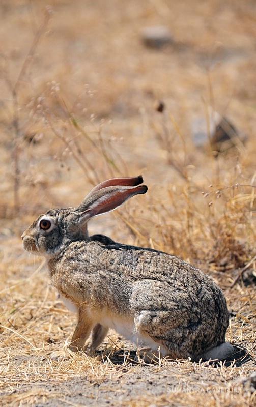 african rabbit  serengeti