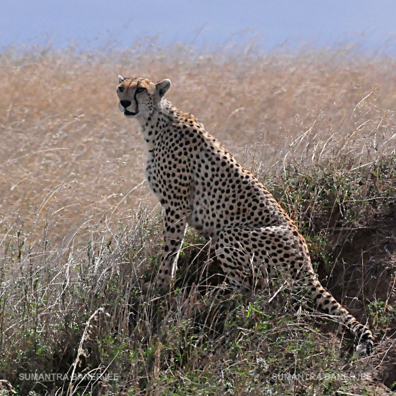 cheetah on a mound  serengeti