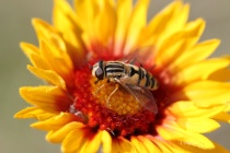 Blanket Flower with guest