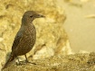 Rock Thrush on th...