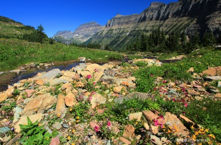 Monkey Flowers - Logan Pass