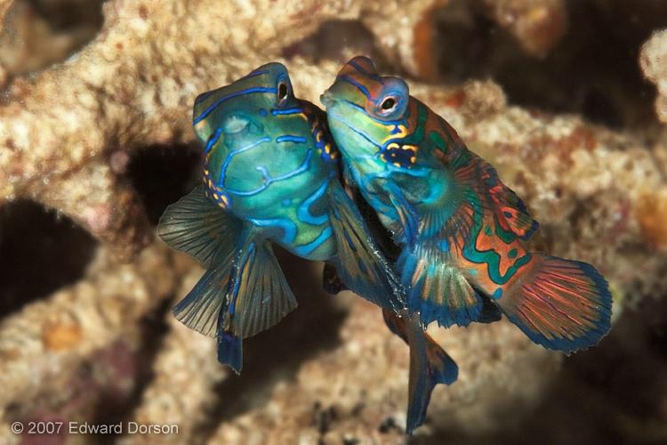 Mandarinfish Mating 2 - ID: 13539392 © Edward Dorson