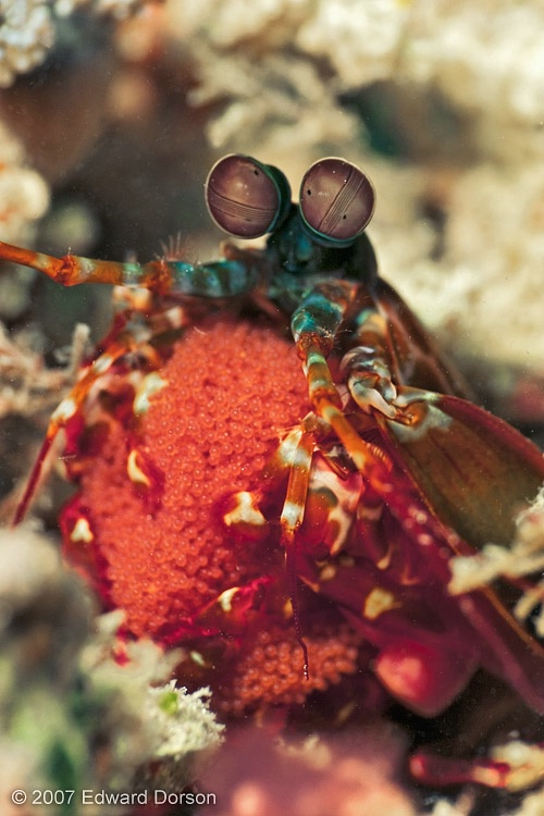 Peacock Mantis Shrimp with Eggs - ID: 13539394 © Edward Dorson