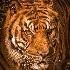 © Dawn Miller PhotoID# 13539805: tiger