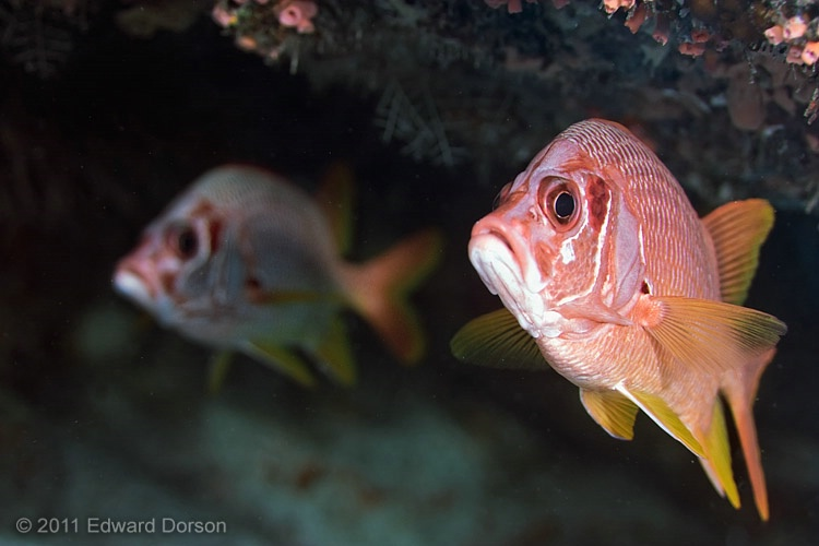 Yellowfin Soldierfish - ID: 13543109 © Edward Dorson