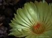 ~star cactus flow...